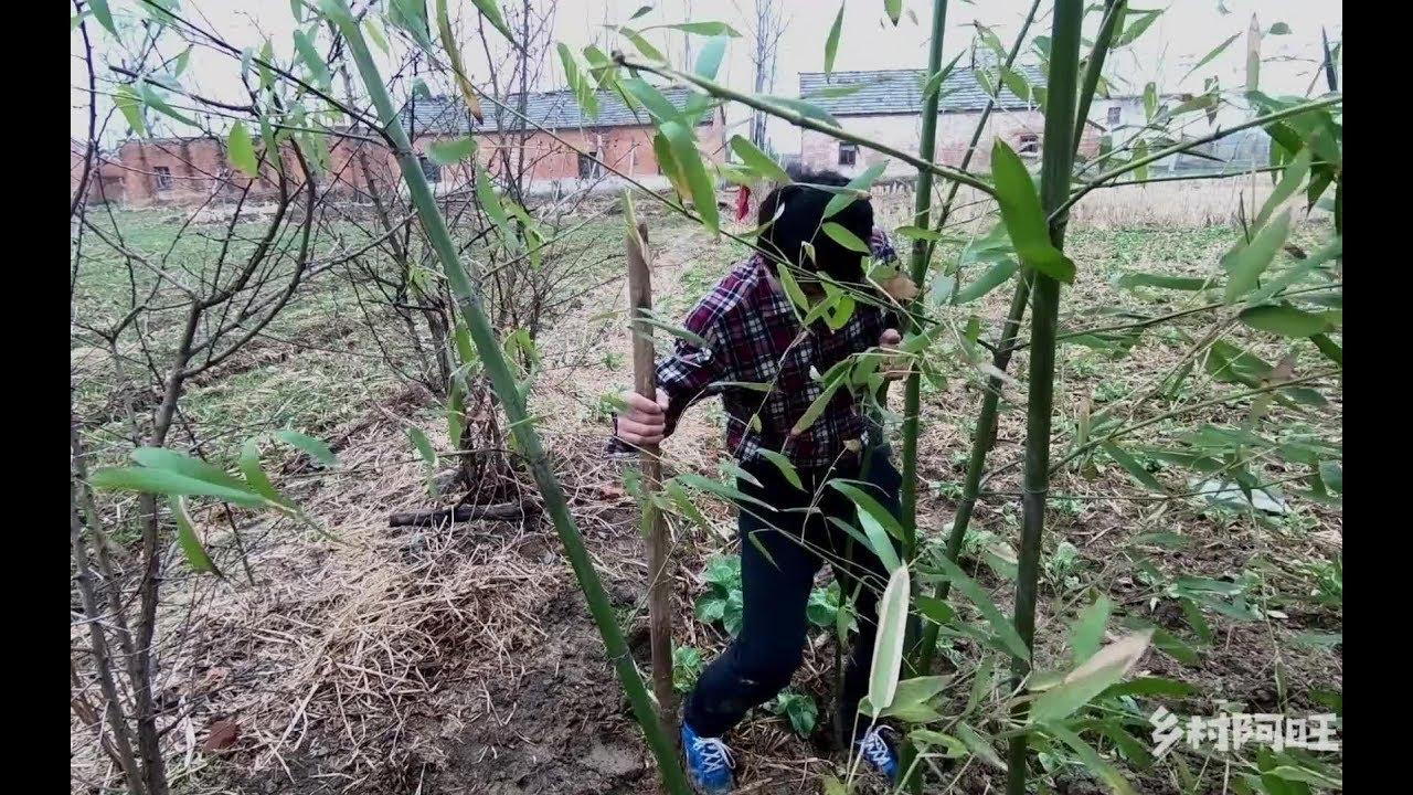 屋前光秃秃的,一个人一只狗栽些竹子,农村的生活,简单而又无奈