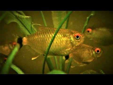 Red Eye Tetra Care | Tank Set Up | How To Differentiate Male & Female | Tank Mates