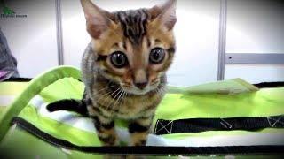 Милый Бенгальский Котенок - Маленький Няшный ЛЕОПАРД | Породы КОШЕК