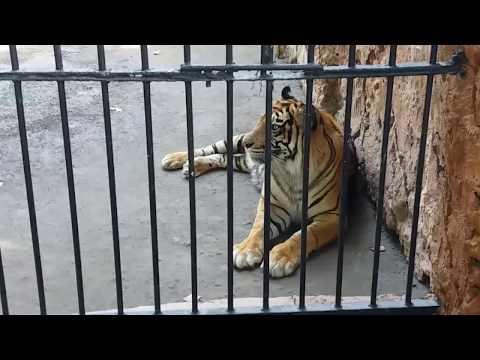 """kebun-binatang-surabaya-""""melihat-harimau-dari-dekat"""""""