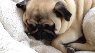Oscar the Pug Dreaming and Snoring......