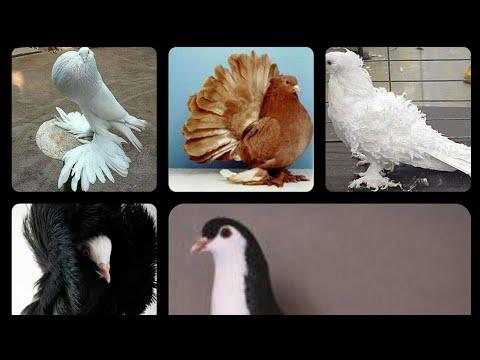Kabotar price, Pigeon price Karachi Pakistan 2020 laka ...