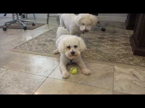 Bichon Frise Dogs bored playing with Ball, wants to be Chased