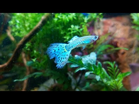 The Science Behind Fish with Active Camouflage - Or -Why Are my Fish Turning Colors?!