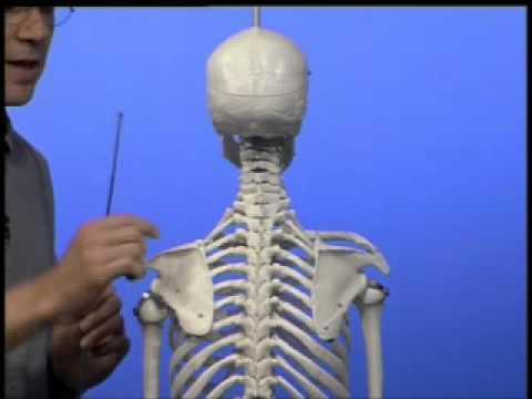 Anatomie - Articulatio - Gelenke obere Gliedmaßen I - YouTube