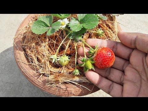 स्ट्रॉबेरी के पौधे को गमले में कैसे
