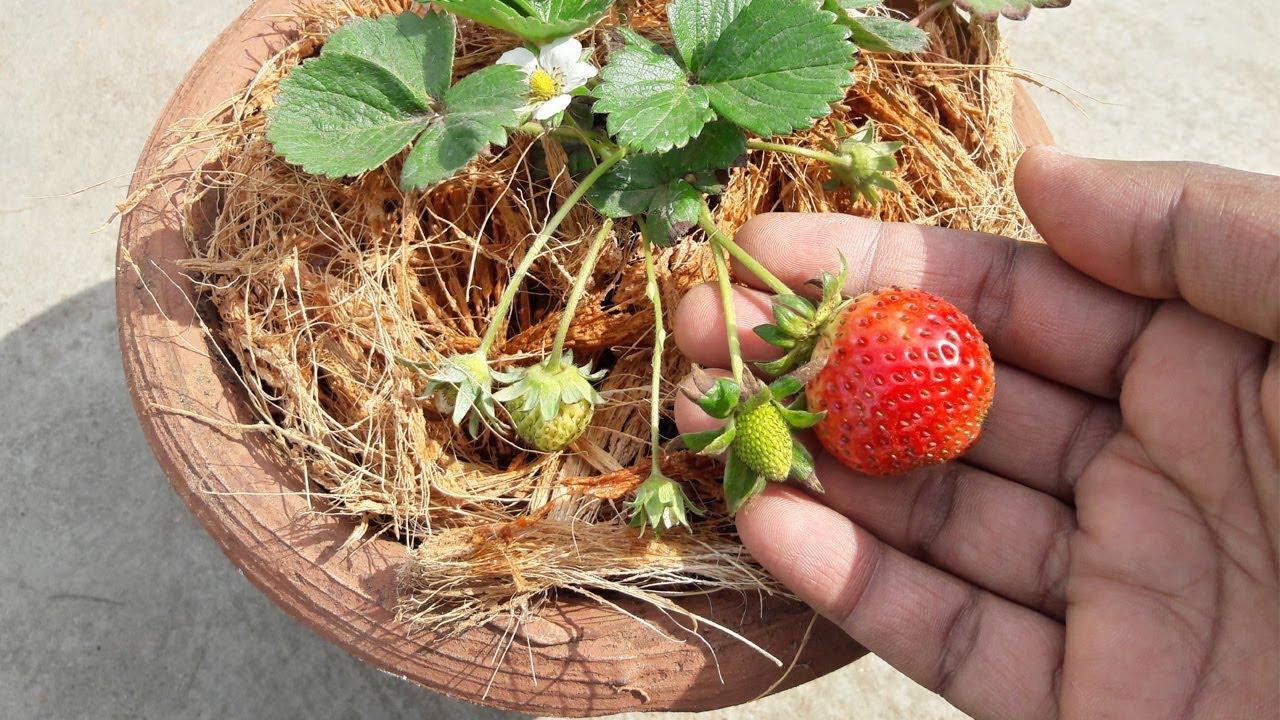 स्ट्रॉबेरी के पौधे को गमले में कैसे लगाएं ll How to Grow Strawberries at  home l TERRACE GARDEN