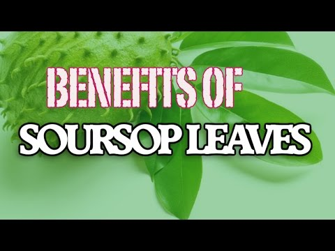 soursop health benefits trivia Rather, it's a combat of sorts if latest health trivia is to be believed soursop benefits for cancer are described in this article.