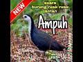 Suara Pikat Burung Ruak Ruak Jantan Untuk Pagi Siang Sore Ampuh  Mp3 - Mp4 Download