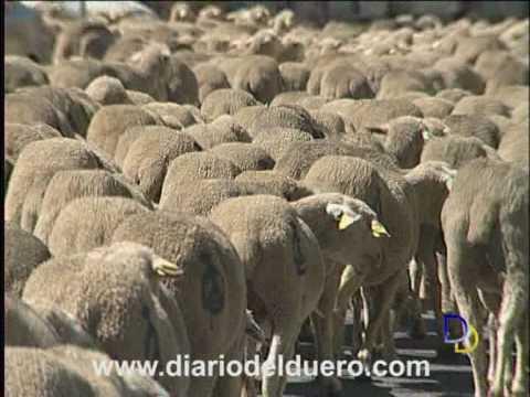 Un gran reba�o de ovejas atraviesa Aranda