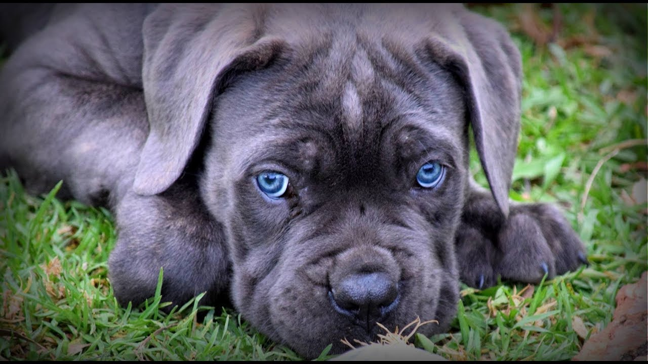 10 Weeks Cane Corso Puppy First Time
