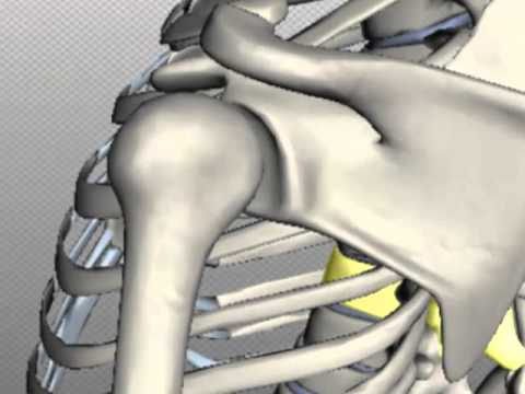 the skeletal system: skeletal joints - youtube, Skeleton