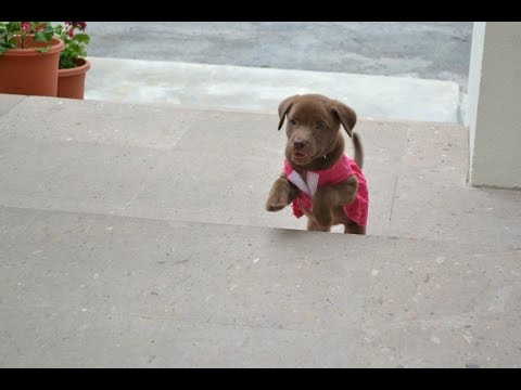 Puppies Using Stairs 2014 [HD]