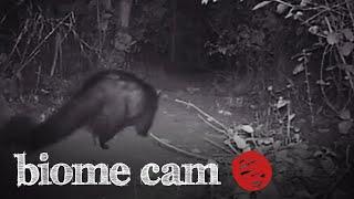 Civet Camera Trap Footage   Biome Cam