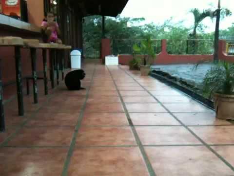 Congo monkey in Costa Rica