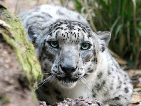 SNOW LEOPARD stalking and attacks! - YouTube