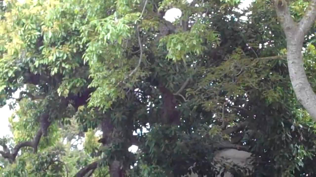 Arboles de aguacate mas grande del mundo mp4 youtube for Arbol mas grande del mundo
