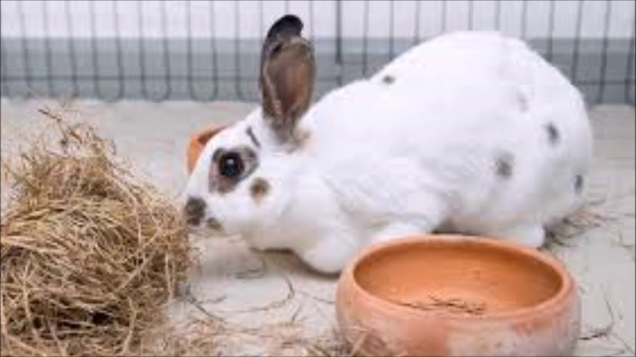 How to Care for a Polish Rabbit foto
