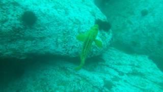 Желтый морской окунь