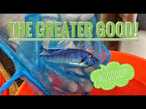 SELLING AQUARIUM FISH!   Letting go of the big peacocks & haps   THE GREATER GOOD!