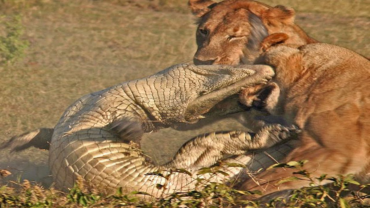 Download Animal World 🐵🐵🐵 TOP CROCODILE VS BIG CAT MOMENTS    Crocodile VS Tiger, Lion, Cheetah, Leopard