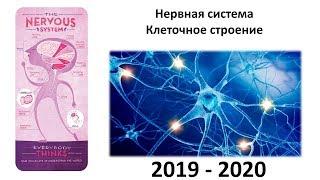 5. Нервная система - клетки (8 класс) - биология, подготовка к ЕГЭ и ОГЭ 2020