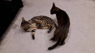 Мои малыши развлекаются Бенгальский кот Тимати и Абиссинский кот Арчибальд
