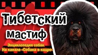 Тибетский мастиф (Молоссы). Энциклопедия пород собак.
