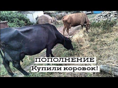 Купили ВЫСОКОУДОЙНЫХ коров ЗА копейки!