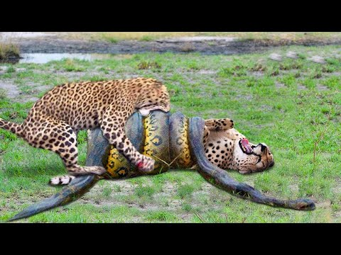Download Top 10 Strongest Predators In The Wild - Prey VS Predator - Blondi Foks