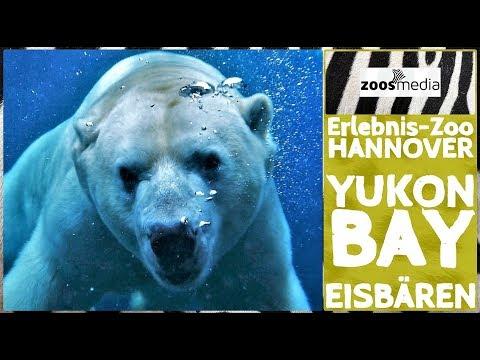 Erlebnis-Zoo Hannover: EISBÄREN in Yukon Bay | zoos.media