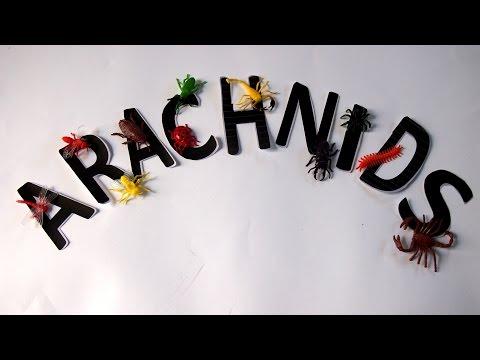 What is an arachnid?
