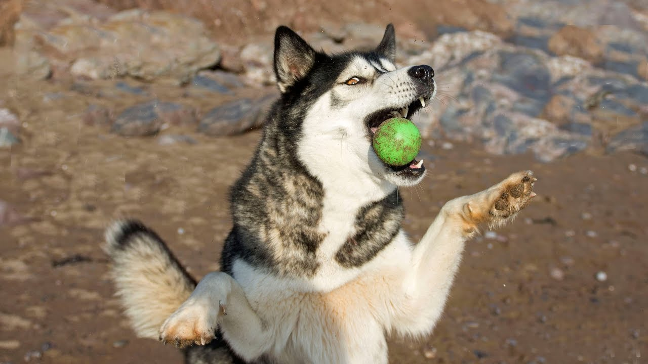Husky/Malamute is Bad at Catch