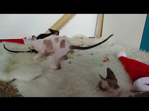 Christmas Time!!! Cute Cornish Rex Kittens having first Christmas!