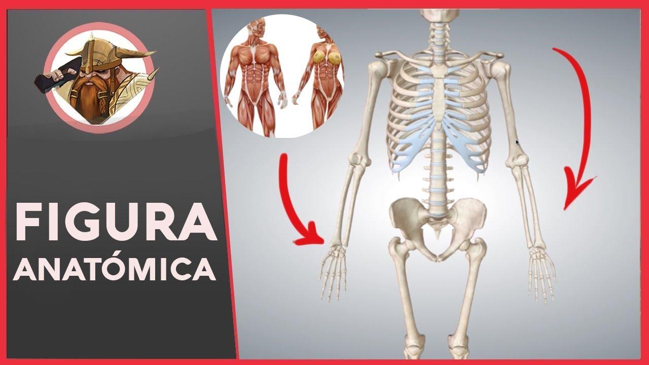 Fantástico Una Anatomía Nivel Cresta - Imágenes de Anatomía Humana ...