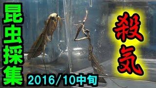 【カマキリ】 昆虫採集 2016年10月中旬 【閲覧注意】