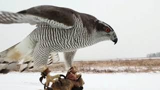 Играют ли хищные птицы? Ястреб Сильва и сугробы