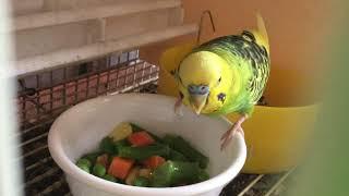 Male Breeder Budgie/Parakeet Eating Veggies(Волнистых попугаев)