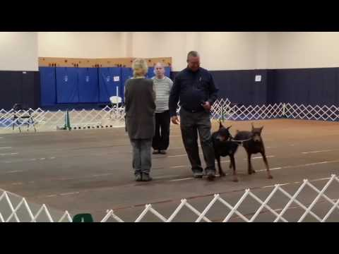 Cooper and Anna in Brace Obedience - October 30, 2016 AM Show
