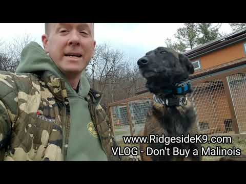VLOG - Don't Buy a Belgian Malinois‼ What's Your Thoughts❓