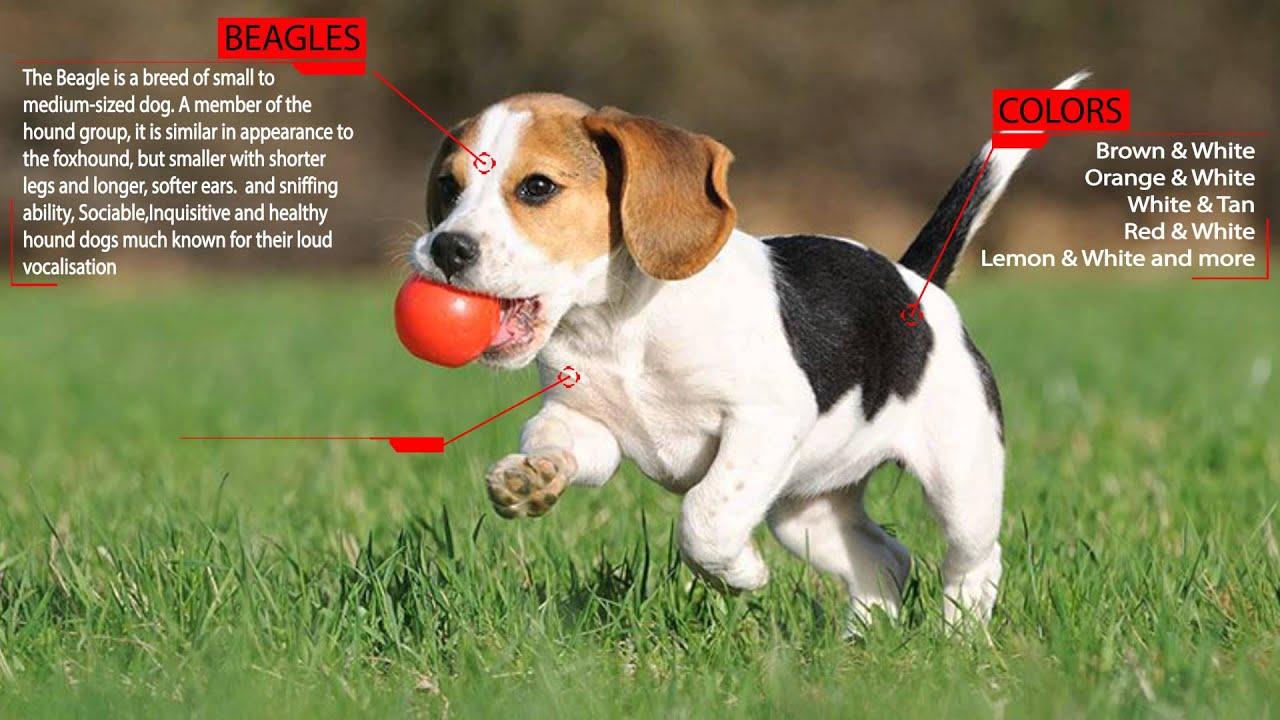 Cool Small Leg Beagle Adorable Dog - maxresdefault  Gallery_6110067  .jpg
