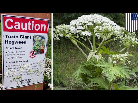 Giant hogweed found in Virginia can cause burns, blindness - TomoNews