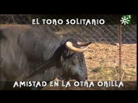 Toro solitario de Villamarta cruza a nado el lago para estar con los  bueyes   Toros desde Andalucía