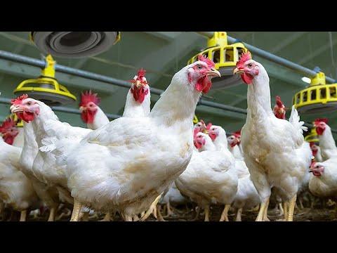 मुर्गी का वजन तेजी से बढ़ाने के उपाय ! GROW CHICKEN IN LESS TIME [ 66 ]