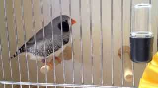 Finch Show Manteca Top 10 Finches