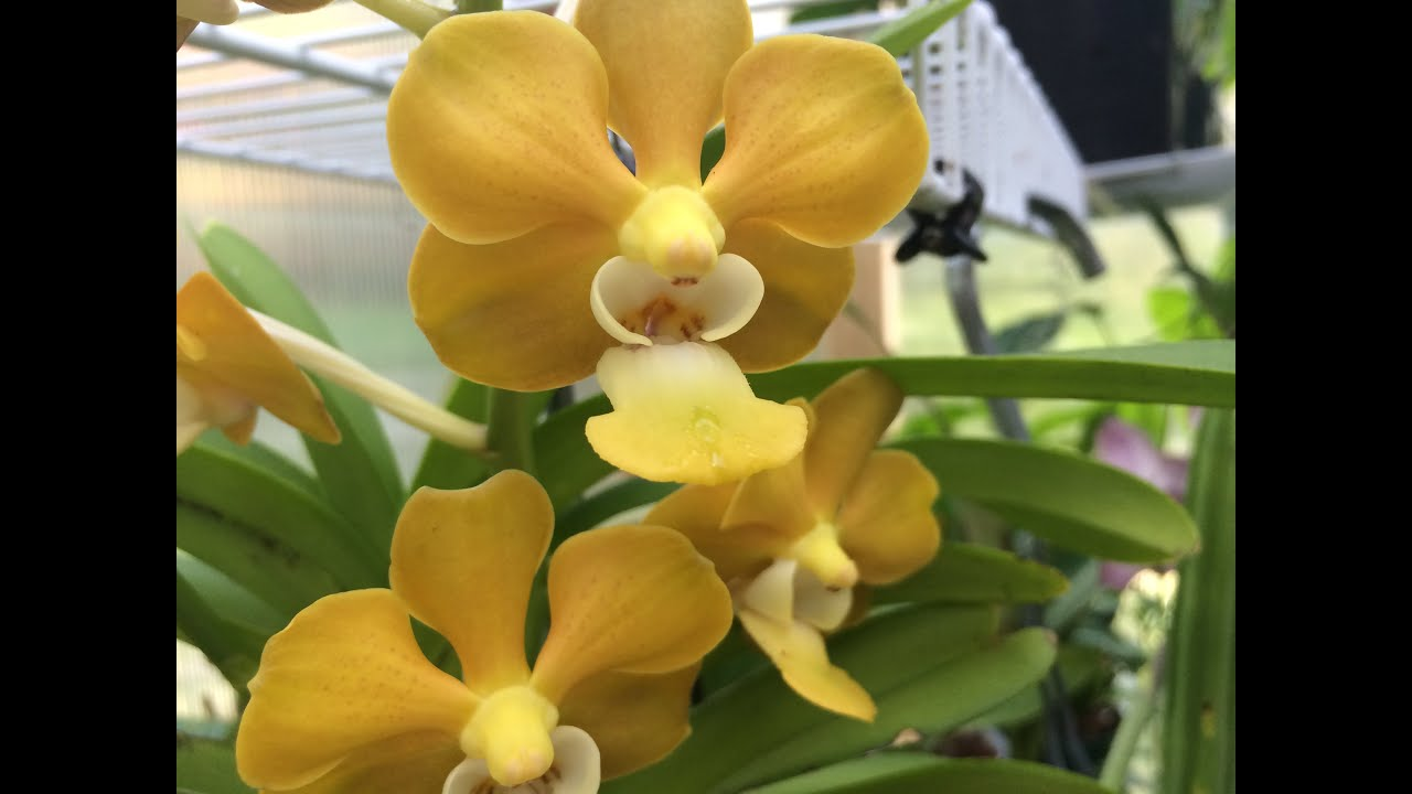 Orchid care summer care of vanda orchids in full bloom yard tour bananas taros koi pond youtube - Vanda orchid care ...