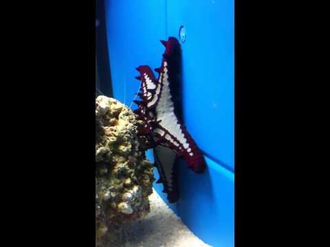 Red Knobbed StarFish