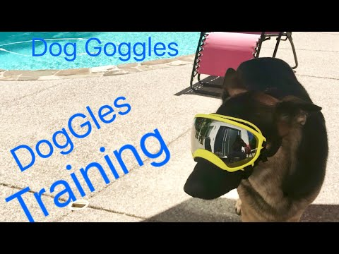 German Shepherd Training to wear Goggles - Dog Training Eye Protection Rex Specs