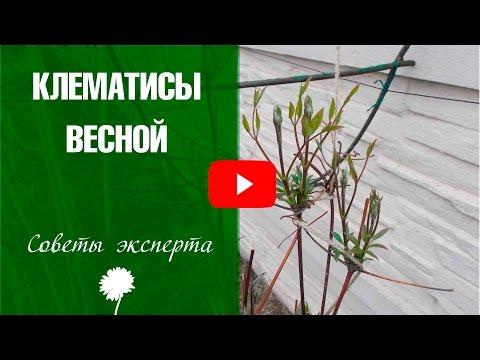 Клематис весной 🌺 Уход и выращивание вьющихся растений на даче