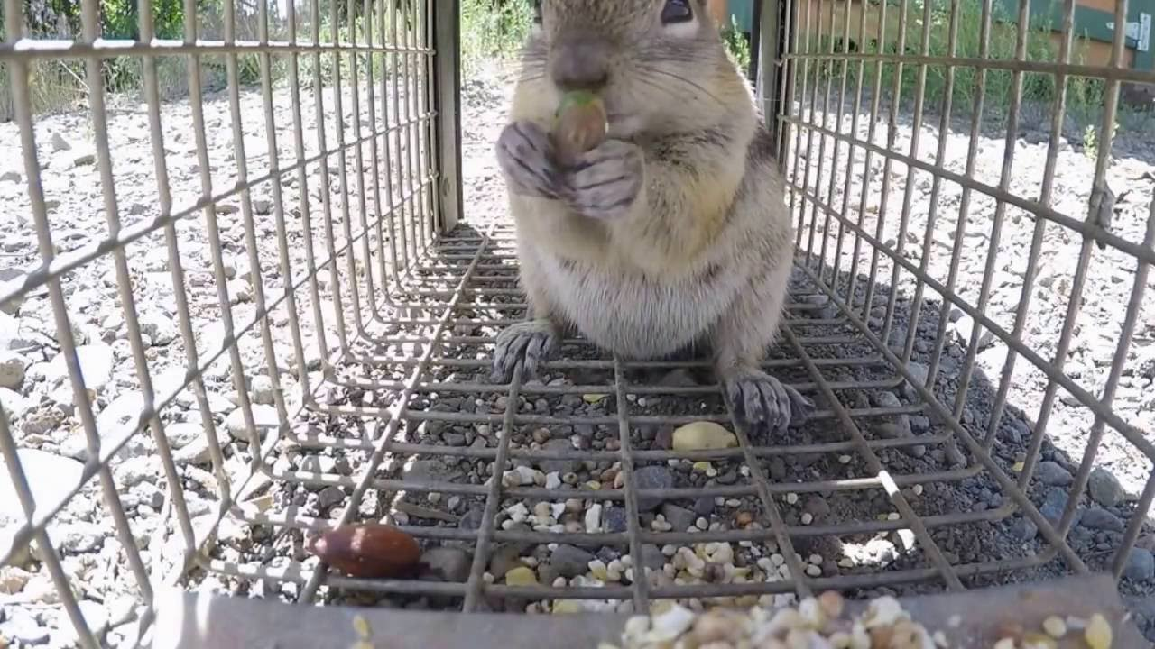 Trapping a ground squirrel - YouTube